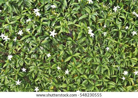 Green leaf background #548230555