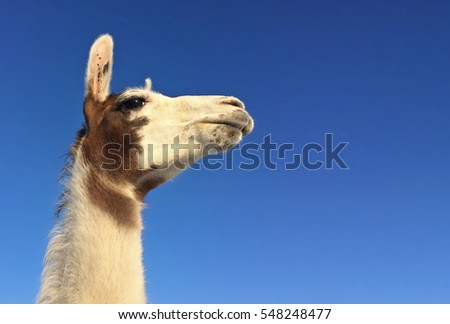 White and brown llama look. Winter, a local farm. #548248477