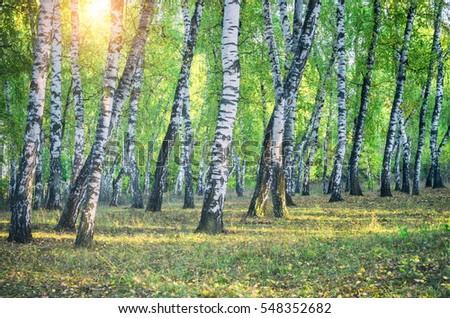 Birch grove and the sun. Retro filter. #548352682