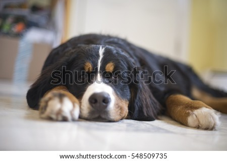 A young Bernese Mountain Dog sleeping on a kitchen floor.  #548509735