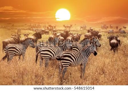 Zebra at sunset in the Serengeti National Park. Africa. Tanzania. Royalty-Free Stock Photo #548615014