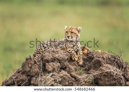 Cheetah cub lying on a hill #548682466