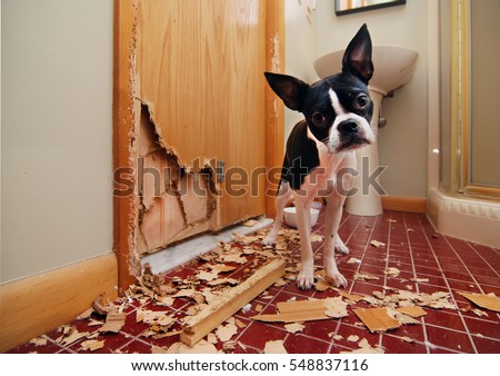 A tiny Boston terrier puppy chews a hole in the bathroom door in an attempt to escape Royalty-Free Stock Photo #548837116