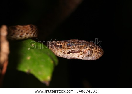 Many-spotted cat snake in habitat. Royalty-Free Stock Photo #548894533