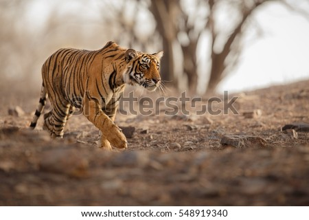 Young tiger female is creeping for prey/wild animal in the nature habitat/India, big cats, endangered animals, what a look, close up #548919340