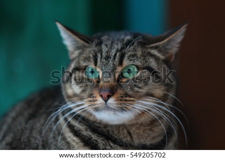 Grey angry cat face portrait #549205702