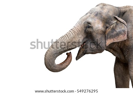 Elephant portrait. Elephant with open mouth. Elephant on a white background.