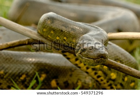 Portrait anaconda #549371296