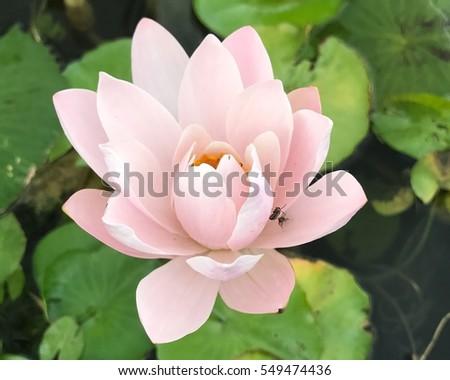 Pink lotus flower in pond #549474436