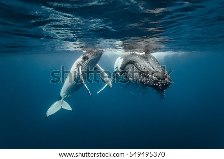 A humpback whale mum and calf sitting next to each other in crystal clear water