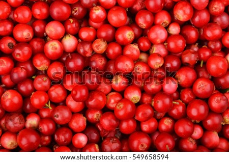 Close up of red ripe Lingonberry (Vaccinium vitis-idaea) #549658594