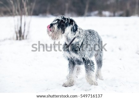 Standard Schnauzer playing in the snow #549716137