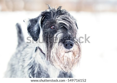 Standard Schnauzer playing in the snow #549716152