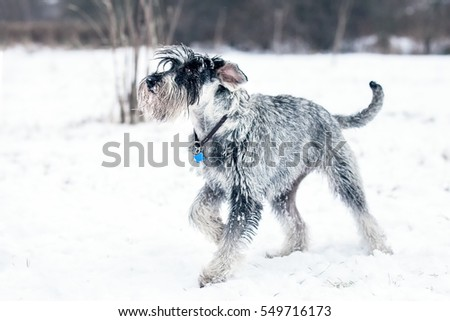 Standard Schnauzer playing in the snow #549716173