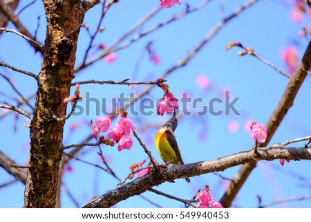 Sakura Japanese or cherry blossom and bird at Doi Ang Khang National Park, Chiang Mai, Thailand. #549940453