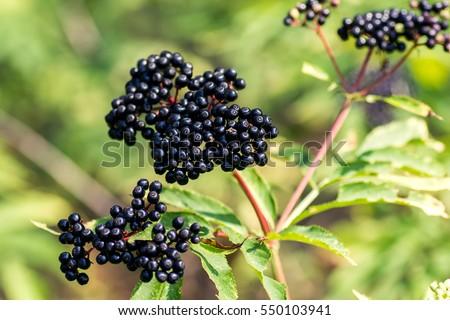 Forest black elderberry, shrub with berries #550103941