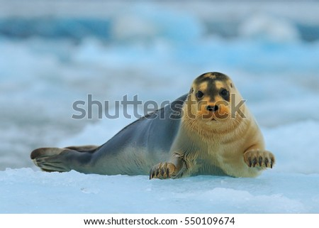 Bearded seal on blue and white ice in arctic Svalbard, with lift up fin. Wildlife scene in the nature.