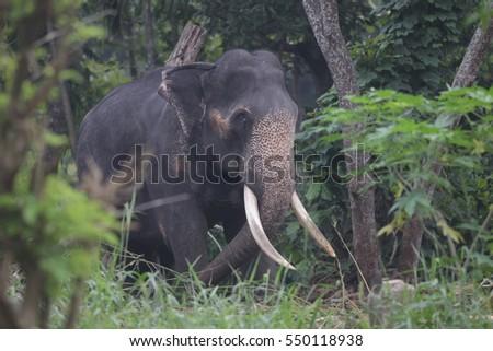 Indian elephant Royalty-Free Stock Photo #550118938