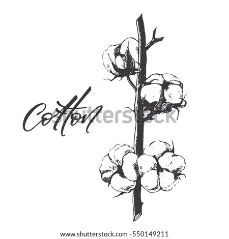 Hand drawing cotton plant sketch with calligraphy, vector illustration on white background #550149211
