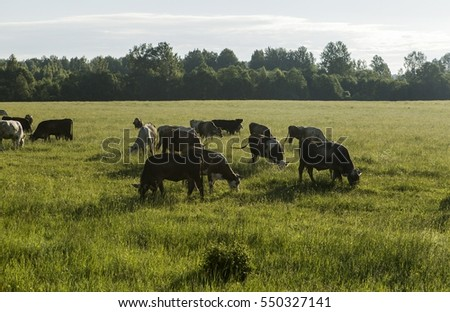 A herd of cows grazing on the outskirts of the village. #550327141