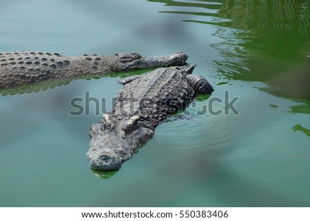 Crocodiles at Crocodile Farm in Thailand. #550383406