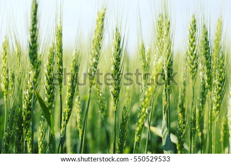 green wheat field and sunny day #550529533