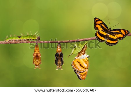 Life cycle of colour segeant butterfly ( Athyma nefte ) from caterpillar and pupa , metamorphosis , growth hanging on twig  #550530487