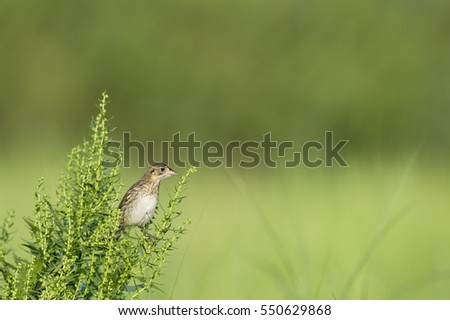 A Seaside Sparrow perches on a green bush on a bright sunny day with a smooth green background. #550629868