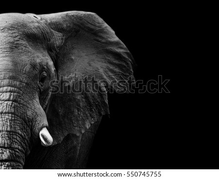 powerful image of an Elephant in black and white Royalty-Free Stock Photo #550745755