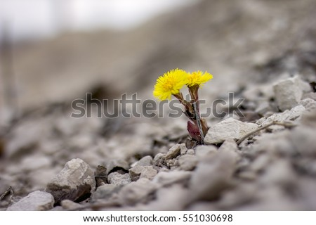 Yellow flower in nature. It grows on rocks in the rock #551030698