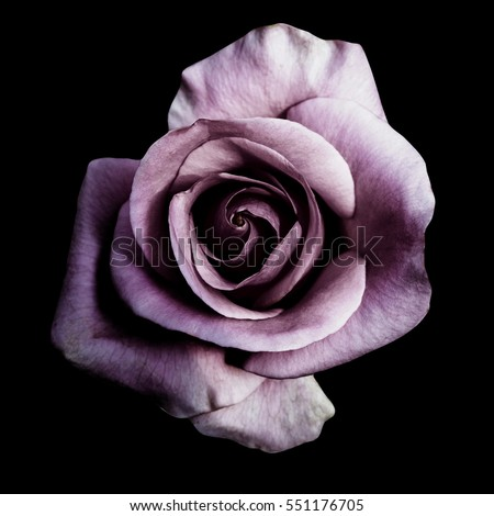 Dark purple roses background, Purple rose isolated on black background, Greeting card with a luxury roses, Image dark tone                   #551176705