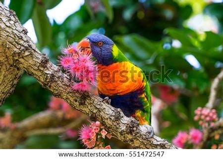 Rainbow Lorikeet eating the nectar of the Bolwarra tree. Taken in the Royal Botanic Garden, Sydney, Australia. #551472547