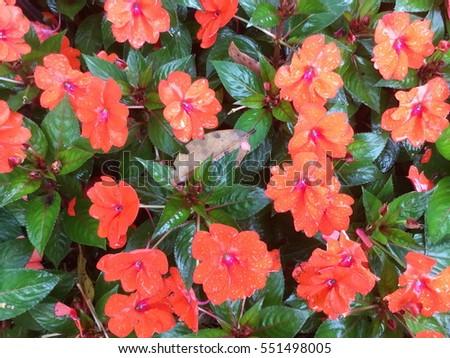 Impatiens walleriana, Busy Lizzie, Balsam, Impatiens, Garden Balsam, Zanzibar Balsam, Patience Plant, Patient Lucy #551498005