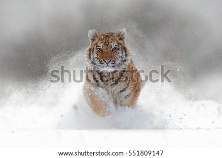 Tiger in wild winter nature, running in the snow. Action wildlife scene with dangerous animal. Cold winter in taiga, Russia. Snowflakes with beautiful Siberian tiger, Panthera tigris altaica. #551809147