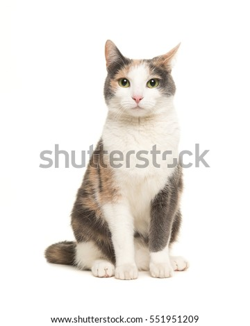 Grey, orange and white female cat sitting seen from the front facing the camera isolated on a white background