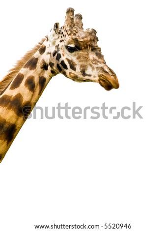 Isolated Giraffe #5520946