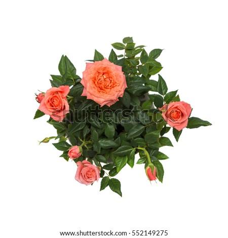 beautiful pink rose isolated on white background #552149275