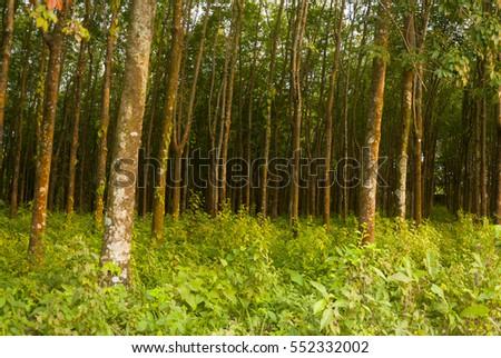 Tropical rubber plantation Background in Cuyotenango, Guatemala. Hevea brasiliensis. #552332002