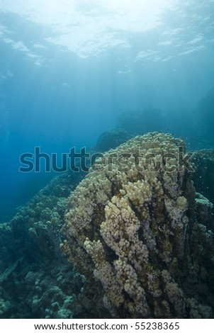 Pristine colony of Cone coral (Porites nodifera) in the shallows with natural sunlight. Ras Umm Sid, Sharm el Sheikh, red Sea, Egypt. #55238365