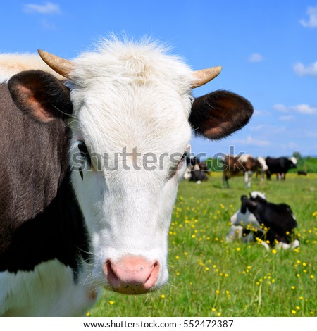 Head of the calf against a pasture #552472387