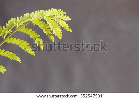 small leaves of  tree on left side of frame with gray back ground   #552547501