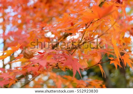 Autumn leaves, japanese red maple tree, Kyoto, Japan #552923830