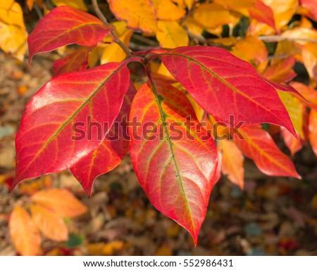 The Autumnal Colours of Nyssa sylvatica (Tupelo or Black Gum Tree) in the Arboretum at Rosemoor in Rural Devon, England, UK #552986431
