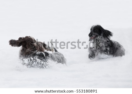 two cute english cocker spaniel dog playing in the freshly fallen dusty and fluffy snow #553180891