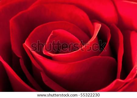 Closeup photo of beautiful red rose flower #55322230