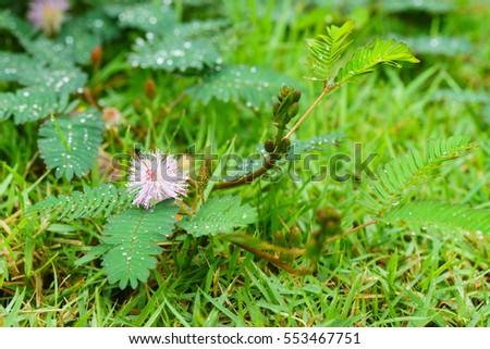 Sensitive plant. #553467751