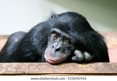 Chimp chimpanzee chimp monkey ape (Pan troglodytes) sad great chimp animal primate from Africa looking to camera stock photo, stock, photograph, image, picture