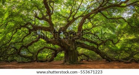 Angel Oak Tree Panorama  Royalty-Free Stock Photo #553671223