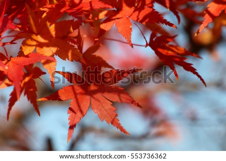 japanese maple #553736362