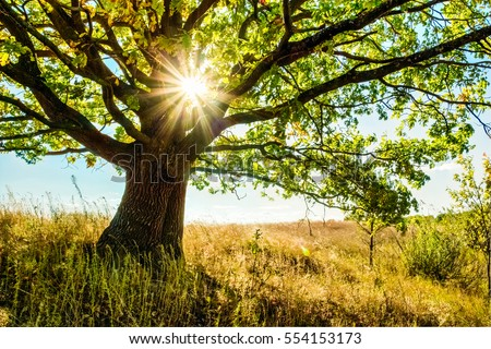 Beautiful oak tree in the grass field and sunlight among its branches and leaves. Summer landscape #554153173